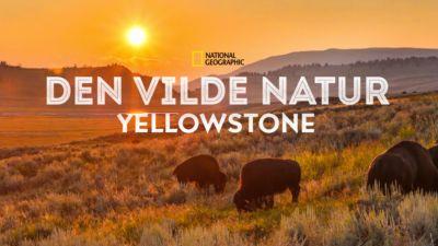 Den vilde natur: Yellowstone